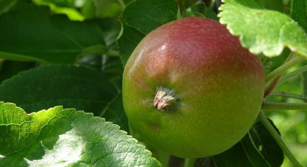Rares Exemplar. Was es mit diesem Apfel auf sich hat, könnt Ihr in meinem Artikel für das Blog des